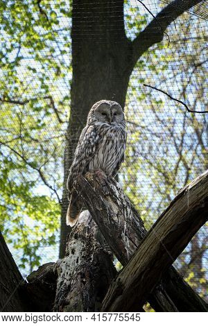 Very Rare Portrait Of The Nocturnal Bird Ural Owl, Which Sits On The Highest Possible Step And Watch