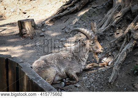 Elderly Alpine Ibex Enjoys A Moment Of Calm In The Shade And Rests On Another Ascent In The Alps. Ca