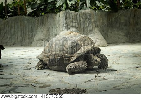 Tired Aldabra Giant Tortoise Rests On A Heated Rock And Waits For Food. A Walk Around Its Territory.