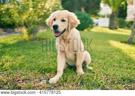 Beautiful and cute golden retriever puppy dog having fun at the park sitting on the green grass. Lovely labrador purebred doggy
