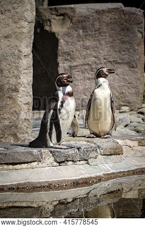 Two Males Humboldt Penguin Stand On A Rock And Bask In The Sun. Spheniscus Humboldti Before Jumping