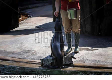 Proud Brown Fur Seal Is Fed To His Servant. Cape Fur Seal, South African Fur Seal Sitting And Waitin