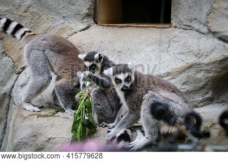 Group Of Ring-tailed Lemurs Select The Best And Tastiest Stalks Of Grass To Eat. Lemur Catta - Lunch