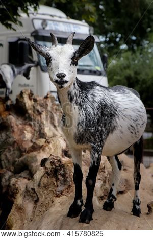White Domestic Goat With Black Stripes Stands On A Tree And Poses For The Photographer. Capra Aegagr