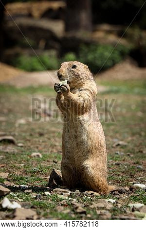Cute Black-tailed Prairie Dog Stands On Back Legs And Holds A Piece Of Fruit In Its Tapes And Eats I