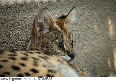 Cute Expression Of A Wild Fishing Cat Lying By The Wall And Basking In The Sun. Fishing Cat Has A De