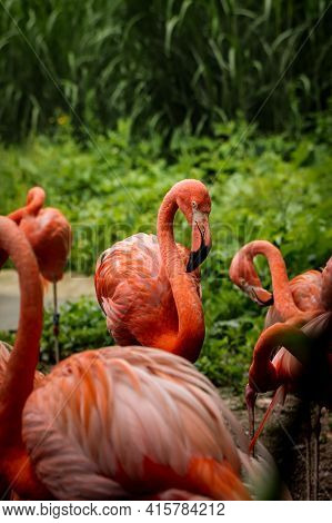 Gorgeous Red American Flamingo Is Ashamed To Show All Its Beauty In Front Of The Lens. Teenager Phoe