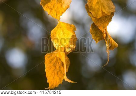 Close-up Of Plant, Tree Brunch With Big Dark Shiny Leaves On Blurred Colorful Background At Sunset.