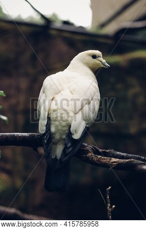 Pied Imperial Pigeon Sits On A Twig And Looks Back. Beautiful Bird Creature Ducula Bicolor. Endanger