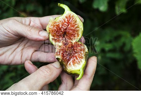 The Farmer Checks The Quality Of The Figs. The Fruit Of The Fig Tree Is Edible, Green-skinned And So
