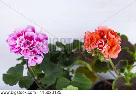 Indoor Flowers On A Wooden Background. Beautiful Geraniums In Pots.