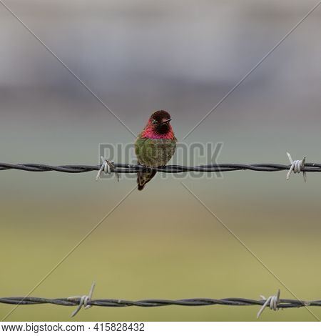 Anna's Hummingbird Adult Male Perched On Barbed Wire Fence. Palo Alto Baylands, Santa Clara County,
