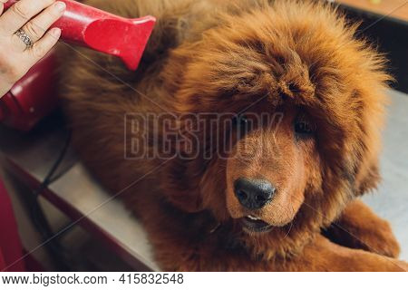 Drying And Combing Wool Of Dog In Grooming Salon, Professional Groomer Carefully Handle With Tibetan