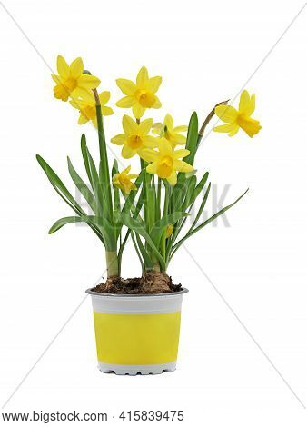 Spring Flower Bulb, Narcissus Cyclamineus In Yellow Pot Isolated On White Background