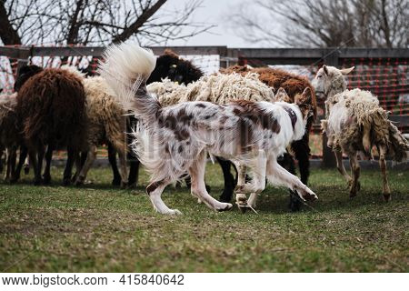 The Smartest Breed In The World. Red Merle Fluffy Border Collie Learns To Herd A Flock Of Sheep In A