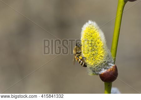 Bee Collects Pollen On A Yellow Spring Flower. Willow Branch With Yellow Spring Flowers. Delicate Wi