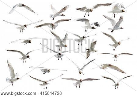 collection of flying black-headed gulls isolated on white background