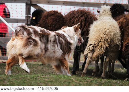 Beautiful And Smart Adult Red Merle Aussie On The Farm. Australian Shepherd Dog Herds Sheep. Sports