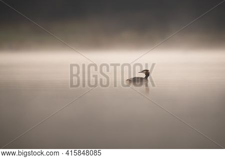 Bird Silhouette Swimming On Water In The Early Morning Haze. Great Crested Grebe (podiceps Cristatus