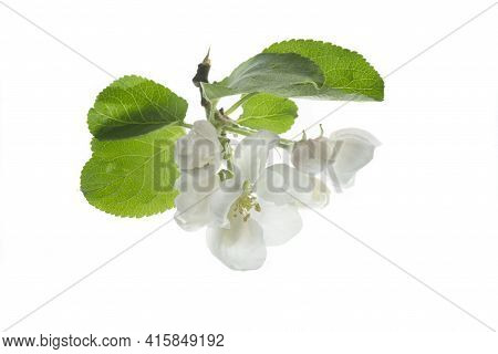 Blossoming Apple Tree Branch Isolated On White