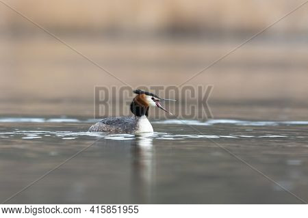 Bird Swimming On Water With Mouth Open. Great Crested Grebe (podiceps Cristatus) On Lake