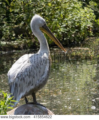 Pelican Sits On A Stone By A Lake, Rests And Waits For Prey In Its Natural Habitat.