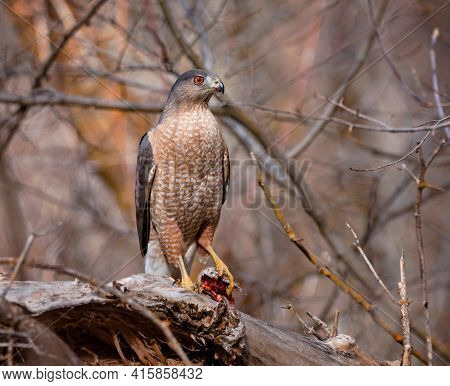 coopers hawk on a branch
