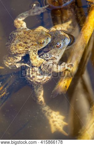 Common Or European Toad Brown Colored, Mating Toads In The Pond