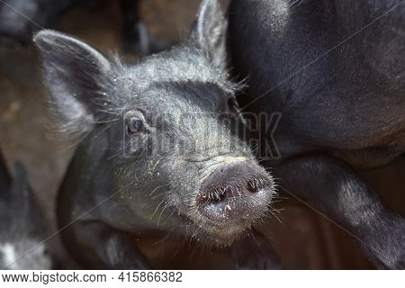 Cute Hairy Wet Snout On The Face Of A Black Piglet.