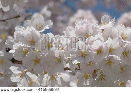 Delicate And Beautiful Cherry Blossom Against Blue Sky Background. Sakura Blossom. Japanese Cherry B