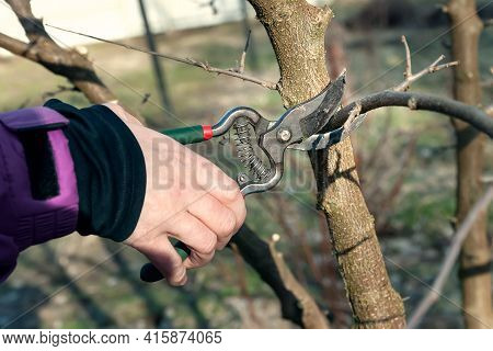 Spring Pruning Of Trees. The Gardener Cuts The Branches With A Pruner. Pruning Trees By Hand. Spring