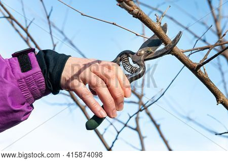 Spring Pruning Of Garden Trees. Farmer Cuts The Branches With A Pruner. Close-up Of Tree Pruning By
