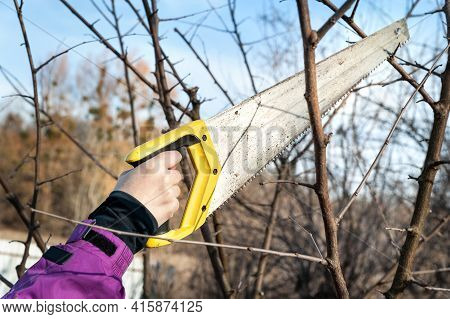 Spring Pruning Of Garden Trees. Farmer Cuts The Branches With A Saw. Pruning Trees By Hand. Spring W