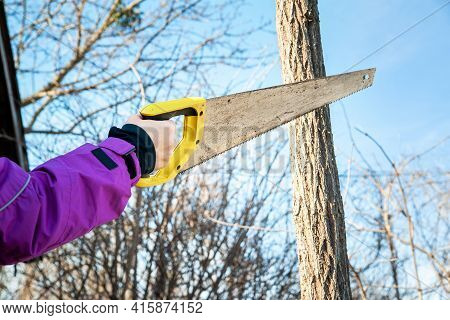 Spring Pruning Of Garden Trees. Woman Gardener Saws Off Branches With A Saw. Pruning Trees By Hand.