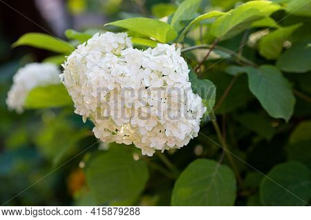 Lush Delightful Huge Inflorescence Of White Hydrangea In The Garden Close-up. Decorative Shrubs In L