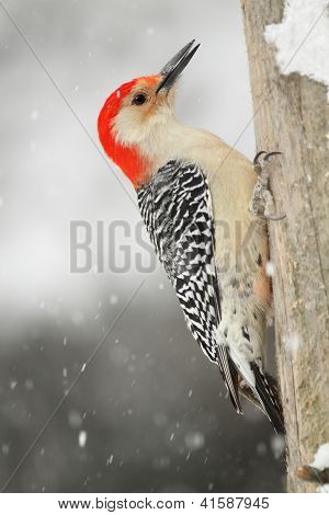 Male Red-bellied Woodpecker (Melanerpes carolinus) on a dead pine tree with snow falling - Grand Bend Ontario poster