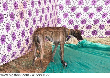 The Dog Serving At Indian Army Popularly Known As Mudhol Hound