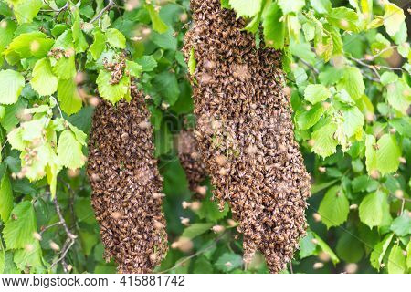 Bees Swarm The Trees. Two Swarms On The Branches Of The Trees Flew Out Of The Hive.