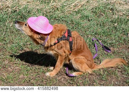 Brown Mixed Breed Dog Wearing Harness In Pink Hat And Unhappy About Playing Dress Up