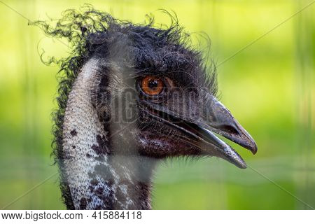 Emu The Second-largest Living Bird