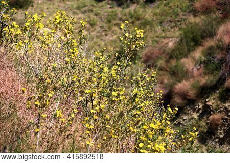 Bush Poppy Plant Flower Blossoms On Windswept Badlands Taken At A Chaparral Woodland In The Rural So