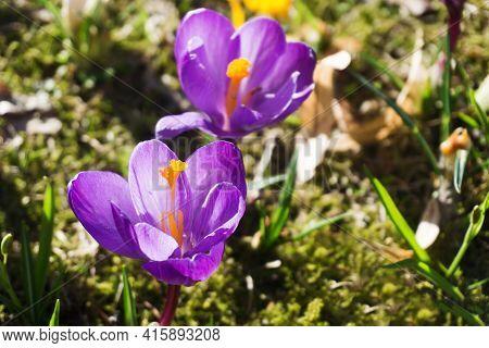 Crocus Flower Background. Spring Growing Crocus Vernus Plant. Violet Flower On Grass. Easter April I