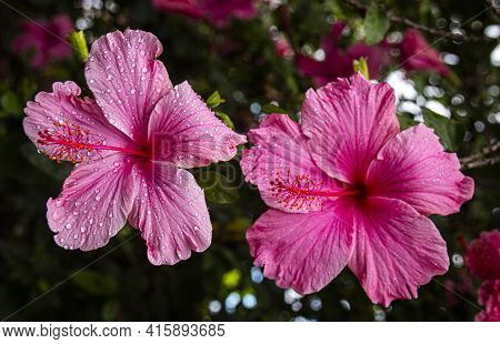 Beautiful Pink Hibiscus Flowers Sprinkled With Raindrops