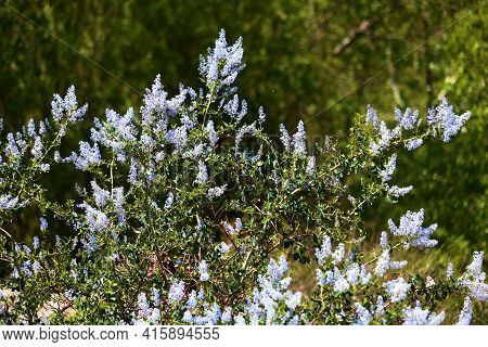 Ceanothus Chaparral Plant Flower Blossoms Also Known As The California Lilac Taken At A Chaparral Wo