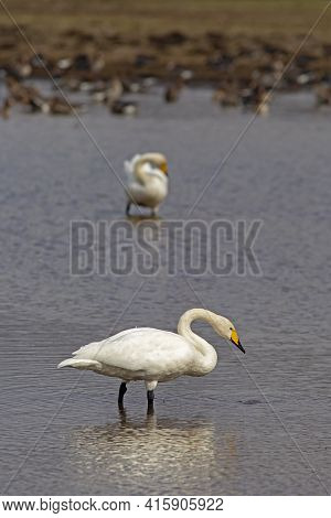 Two Large White Birds,  Whooper Swan, Cygnus Cygnus Standing And Resting In The Water During Their S