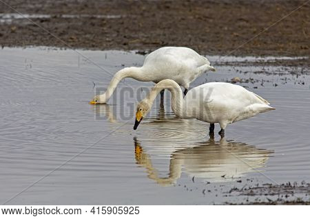 Two Large White Birds,  Whooper Swan, Cygnus Cygnus Standing Together And Resting In The Water Durin