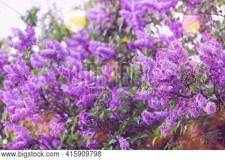 Bush Of Blooming Lilac Flower In Spring Garden. Beautiful Nature Background.