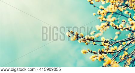 Beautiful Springtime Nature Background From Blooming Willow Branches With Fluffy Catkins In Sunlight