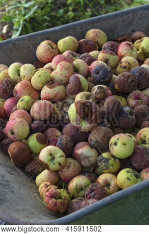 Pile Of Rotted Garden Apples Collected In A Garden Cart For Disposal In Late Summer