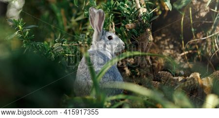 Wild, Grey Young Rabbit Eating Grass And Grooming On A Summer's Morning In Nature. Rabbit Is Facing